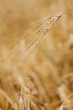 Close up of stems of gold and ripe rye. Concept of great harvest and productive seed industry.