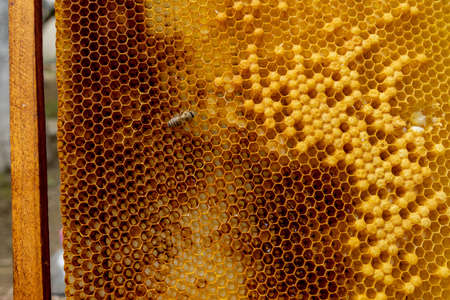 closeup of bees on honeycomb in apiary - selective focus, copy space.