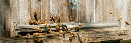 A lot of bees returning to bee hive and entering beehive with collected floral nectar and flower pollen. Swarm of bees collecting nectar from flowers. Healthy organic farm honey 免版税图像