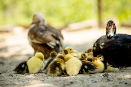 Mother duck with her ducklings. There are many ducklings following the mother 免版税图像