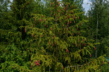 Young growing spruce blossom on a tip of branch spring, beautiful new cones in spruce.
