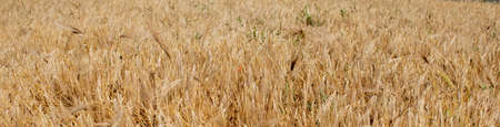 Gold Wheat Field. Beautiful Nature Sunset Landscape. Background of ripening ears of meadow wheat field. Concept of great harvest and productive seed industry.