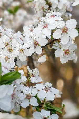 Cherry tree flowers, cherry tree blossom at spring.
