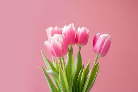 Many Pink tulips on the pink background 版權商用圖片