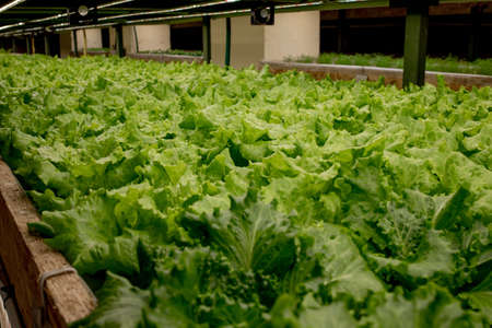 Fresh lettuce leaves, close up., Butterhead Lettuce salad plant, hydroponic vegetable leaves. Organic food, agriculture and hydroponic conccept