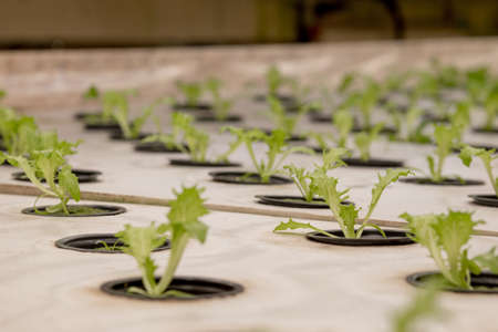 Germination salad on rockwool for hydroponic. Preparing for the cultivation of plants in the garden. Green sprout. Breeding ground