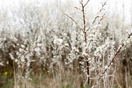 Fielding white flowers blooming in a field. Background flowering, selective focus. 版權商用圖片