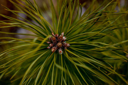 Macro shooting of plants. Coniferous branches with young buds look like flowers. Pine branch with cones in spring. 版權商用圖片