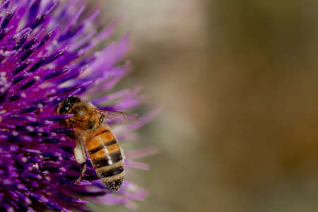 Close up of Bee collects honey from thistle, macro.