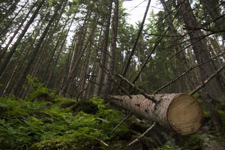 Dead trees in forest, Zakopane, Poland Tatra Mountains Stock Photo