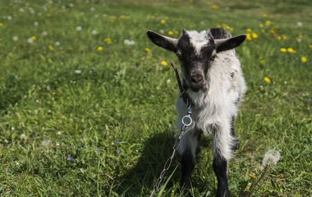 Black and white baby goat on a chain against grass and flowers on a background. White ridiculous kid is grazed on a farm, on a green grass. Animal. Agriculture. Pasture.