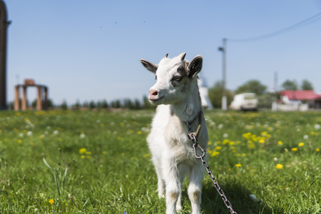 Close up black and white baby goat on a chain against grass flowers building on a background. White ridiculous kid is grazed on a farm, on a green grass. Animal. Agriculture. Pasture.