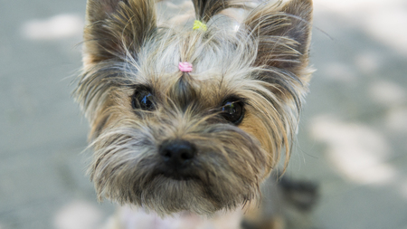 Close up funny puppy Yorkshire Terrier in the on a sidewalk in a park looking in a camera. Stok Fotoğraf
