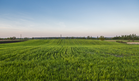 Panorama view of green sprouting rye agricultural field in spring in sunset. Sprouts of rye.