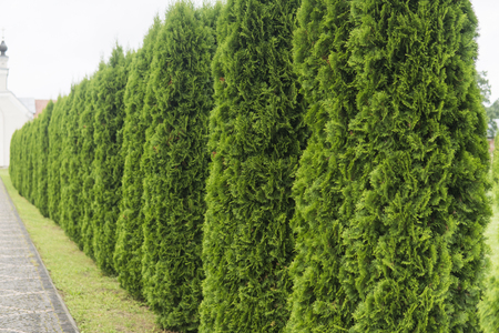 Green hedge of thuja trees.
