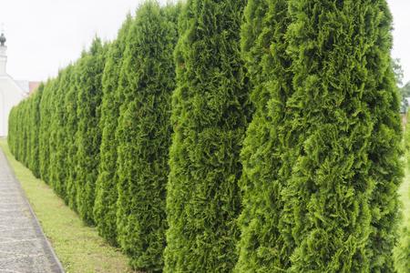 Groene haag van thuja-bomen.