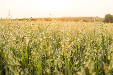 Close up on a green oat ears of wheat growing in the field in sunny day. Agriculture. Nature product. Stock Photo