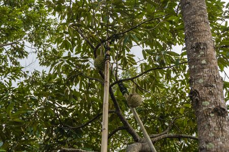 Durian - king of tropical fruit, on a tree branch in the orchard. Fresh durian on a tree in gardening system. Durian plantation. Durian can grow in suitable conditions. Special and useful plant.