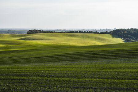 Gebied van jonge tarwezaailingen die in de herfst groeien. Jonge groene tarwe groeit in de bodem. Landbouw proces. Close-up op kiemen rogge landbouw op een zonnige velddag met blauwe lucht. Spruiten van rogge.