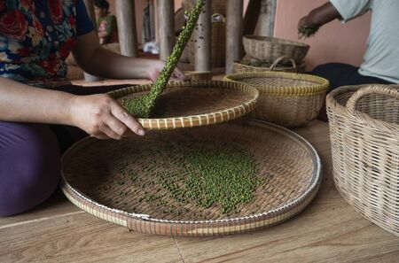 Woman hands over green raw pepper and separates black pepper from red for further drying. Black pepper plants growing on plantation in Asia. Agriculture in tropical countries