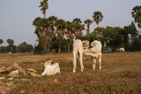 Three skinny white Cambodian cow. Countryside landscape in Kampot Province in southern Cambodia, Asia. A group of cows locals village. Agriculture and farming. Animals