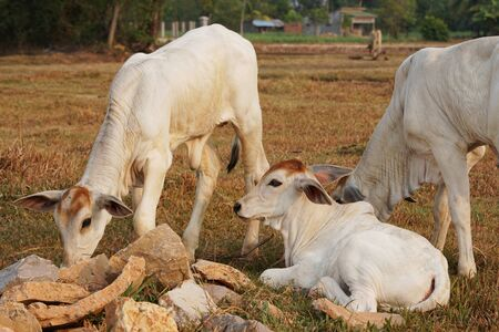 Three skinny white Cambodian cow. Countryside landscape in Kampot Province in southern Cambodia, Asia. A group of cows locals village. Agriculture and farming. Animals.