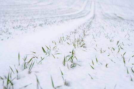 Wheat field covered with snow in winter season. Winter wheat. Green grass, lawn under the snow. Harvest in the cold. Growing grain crops for bread. Agriculture process with a crop cultures.