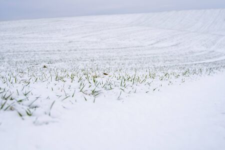 Wheat field covered with snow in winter season. Winter wheat. Green grass, lawn under the snow. Harvest in the cold. Growing grain crops for bread. Agriculture process with a crop cultures
