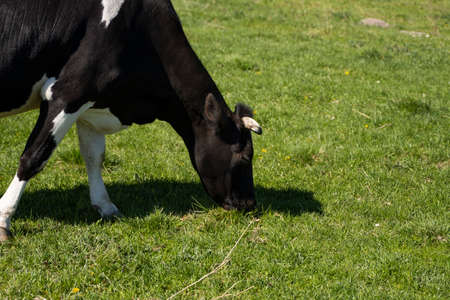 Black and white cow on a summer pasture eats a grass. 写真素材