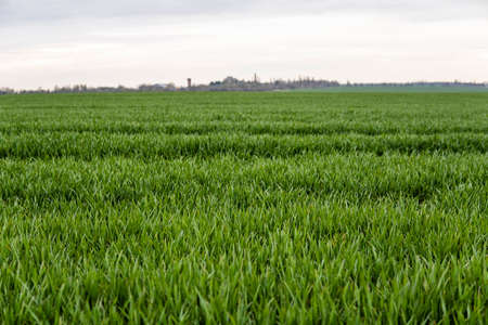 Field of young green wheat seedlings. Sprouts of young barley or wheat that have sprouted in the soil. Close up on sprouting rye on a field. Sprouts of rye. Agriculture, cultivation.