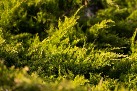 Green hedge of thuja trees. Closeup fresh green branches of thuja trees. Evergreen coniferous Tui tree. Nature, background.
