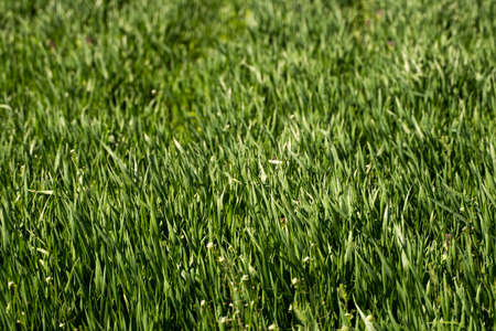 Young green wheat seedlings growing in soil on a field. Close up on sprouting rye on a field. Sprouts of rye. Sprouts of young barley or wheat that have sprouted in the soil. Agriculture, cultivation. 写真素材