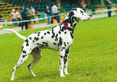 obediencia: D�lmata en la competencia. Obediencia. El entrenamiento del perro es modificar el comportamiento de un perro. Foto de archivo