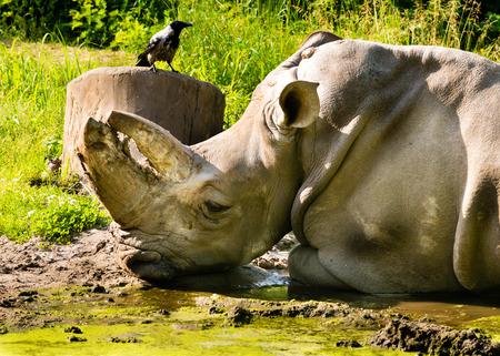 extant: Rinoceronte y Raven viven juntos en la naturaleza y el zool�gico. Foto de archivo