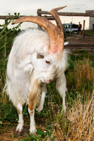 he goat: The angry he-goat is on a farm. Stock Photo