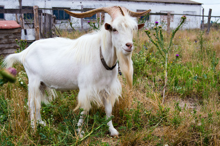 s horn: He-goat is on outdoor.