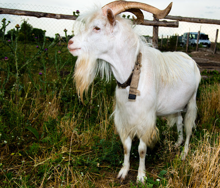 s horn: He-goat walks on field of the farm. Stock Photo