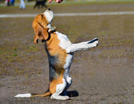 dutiful: The dutiful Beagle is under command.