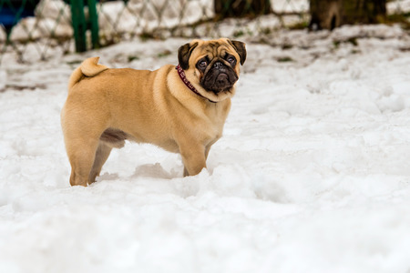 black tail deer: Pug is in the snow in the park.
