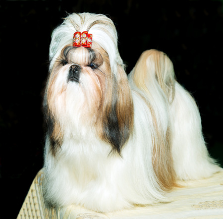 pampered: Cute Shih Tzu is on the show. Stock Photo