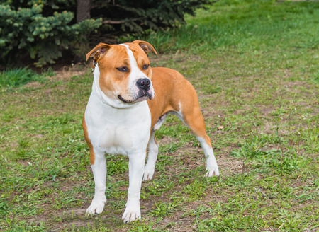 staffordshire: American Staffordshire Terrier straight. The American Staffordshire Terrier is on the grass. Stock Photo