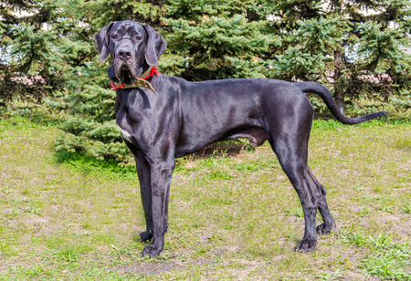 Great Dane profile. The Great Dane is on the grass. Stock Photo