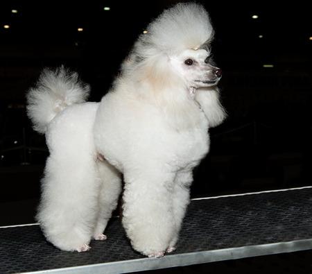 miniature poodle: The Miniature Poodle looks ahead on the show.