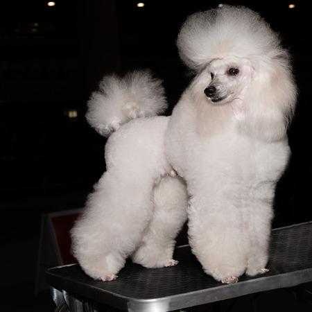 miniature poodle: Miniature Poodle looks aside. The Miniature Poodle looks aside on the show.
