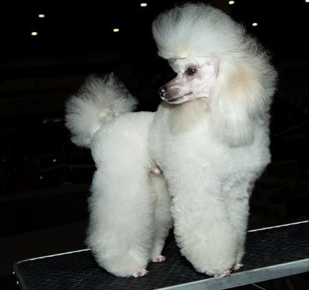miniature breed: Caniche miniatura mira hacia atrás. El caniche miniatura mira hacia atrás en el show. Foto de archivo