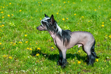 Chinese crested dog black. The Chinese crested dog walks on the grass of the park.