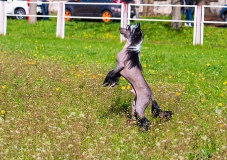 agility people: Chinese crested dog upright. The Chinese crested dog walks on the grass of the park.