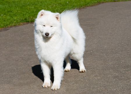 modesty: Samoyed modesty. The Samoyed stands in the city park. Stock Photo