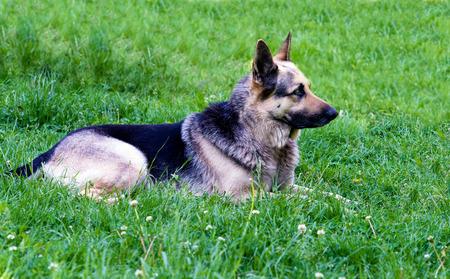 german shepherd on the grass: German shepherd lies. German shepherd is on the green grass.