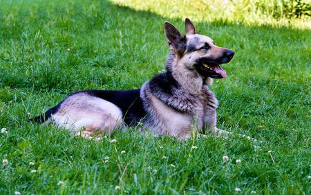 german shepherd on the grass: German shepherd grin. German shepherd is on the green grass. Stock Photo